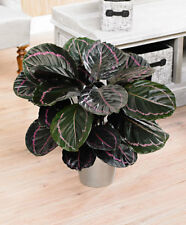!!!!!PERFECT CHRISTMAS GIFT!!!!! 3 Prayer Plant (Calathea Rosieopicta)