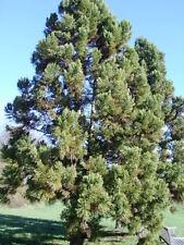 New listing 20 Japanese Cedar Seeds - Cryptomeria japonica