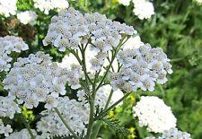 3000 Samen Gemeine Schafgarbe (Achillea millefolium) Wildform, winterhart, Tee