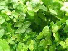 Kletterfeige, Kletterficus  (Ficus pumila) grün (LG)
