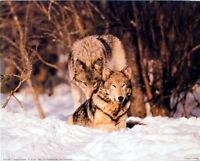 Wild Wolf Pair in Snow Wildlife Animal Nature Wall Decor Art Print Picture 8x10