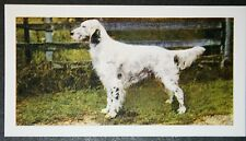 ENGLISH SETTER       Vintage Colour Photo Card ## Excellent Condition