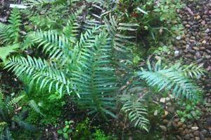 Native Fern - Blechnum indicum