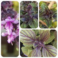 Basilikum African Blue purpur-grüne Blätter sehr robust Strauchbasilikum Rarität