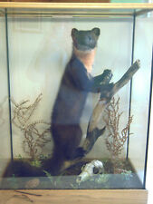 Pine Marten, an adult female and comes in a glass case, an excellent mount.