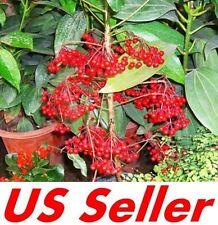 10 PcsCinnabar Root Seeds B57, Beautiful Garden Blooming Flower