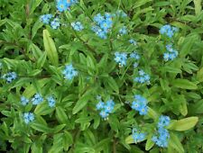 BLUE,FOR-GET-ME-NOTS,WATER POND PLANT,BIOFILTERS,100% ORGANIC,LICENSED PA GROWER