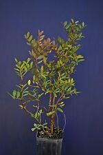 PISTACIA LENTISCUS vq9X9X20cm planta Pasta selladora Mastic tree square bote