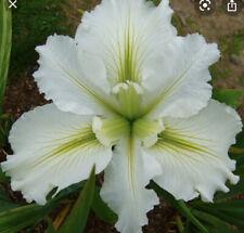 Louisiana Iris Waihi Wedding Aquatic Pond Plant 4� Pot Zones 6-11 Usa