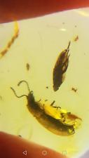 Coleoptera Beetle and Fulgoroidea inclusion in Burmite Amber Fossil authentic