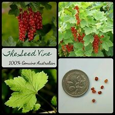 10+ ORGANIC REDCURRANT SEEDS (Ribes rubrum) Edible Juice Jam Fruit Shrub Berry
