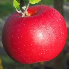 Roter Berlepsch Lagerapfel historisch Apfel Buschbaum 150-170 cm wurzelnackt M7