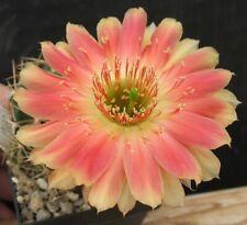 neu/ new: Echinopsis Lobivia Hybride ESP.2010.78.1