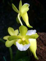 Rare orchid species seedling plant - Christensonia vietnamica