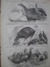 Prize poultry at Zoological Society Gardens 1847 old prints ref S