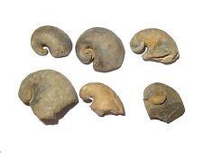 Devonian Platyceras laevicostatum snail gastropod fossil Belen Formation Bolivia