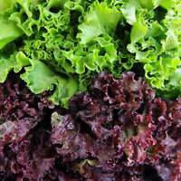 Lettuce – Red Salad Bowl HEIRLOOM 200+ Seeds, 100% Organic, Non GMO Grown In USA