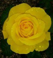 Golden Wedding Floribunda Rose Bush - Gift Wrapped 50th wedding anniversary