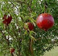 Pomegranate - 'Wonderful' - Punica granatum - Actively Growing