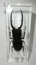 Longhorn Black Stag Beetle Prosopocoilus confucius Education Insect Specimen