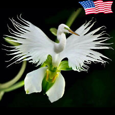 200+ JAPANESE PECTIELIS RADIATA SEEDS WHITE EGRET ORCHID / RARE FLOWER SEEDS