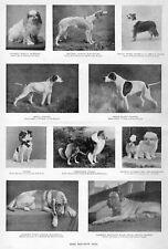 Dog Show, Mastiff, Collie, Pointer, Wolf-Hound, English Bloodhound, Dogs