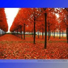 50 SUGAR MAPLE TREE ** SEEDS ** MAPLE SYRUP SHADE TREES LANDSCAPE FALL COLOR