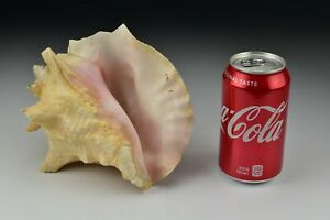 """Large Pink Queen Conch Shell 8"""" Beach Decor #1"""
