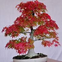 20pc Rare Red Maple Pflanzen Samen Red Maple Bonsai-Baum HOT SELL B1H8