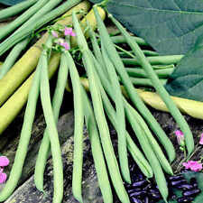 6x Climbing Bean 'Cobra' Plug Plants (No Seeds) - Ready Now