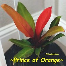 ~PRINCE OF ORANGE~ Philodendron AROID 12-16+ inch spread LARGE Size HOUSEPLANT