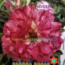 NS1 12❀⊱ ADENIUM OBESUM DESERT ROSE ❀ DAISY ❁ HOUSE BONSAI SEEDS ⊰✾
