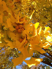 Ginkgo biloba - The Maidenhair Tree - A Living Fossil - 5 Seeds