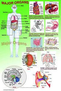 Human Anatomy model body MAJOR ORGANS A2 laminated medical doctor biology poster