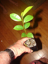 ~Soursop~ Annona muricata Fruit Tree Guanabana Not Br small 6-10+in Pot'd Plant