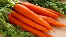 300 Pcs Carrot Seeds Bonsai Plant Vegetable House Herb Garden Organic Decor