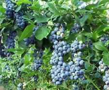 Blueberry Sunshine Blue Berries 9cm Pot 15-20cm 2 Years Old Edible Fruit Plant