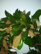 New listing Magnolia 50 Dried Leaves Litter Hand Picked Reptile Amphibian Isopod Arthropod