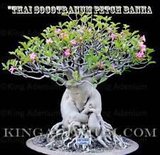 "ADENIUM THAI SOCOTRANUM  "" PETCH BANNA "" 100 SEEDS  NEW & RARE, GREAT FOR BONSAI"