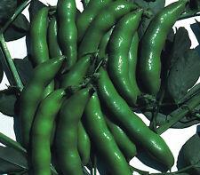 vegetal - Enano Amplio Bean la Sutton 30 Semillas - Sembrar otoño primavera