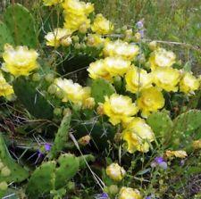 Winterharte Opuntia-Kakteen - & Sukkulenten-Pflanzen