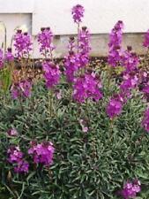 Pack x6 Erysimum 'Bowles Mauve' Perennial Wallflower Plug Plants