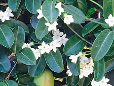 100 SEEDS - 2018 harvest STEPHANOTIS FLORIBUNDA-Wedding Plant-Madagascar Jasmine