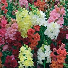 Snapdragon Madame Butterfly Seeds Annual Double Flowers Mixed Colours Beautiful