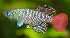 50 EGGS NOTHOBRANCHIUS PALMQUISTI KILLIFISH KILLI EGG HATCHING TROPICAL FISH