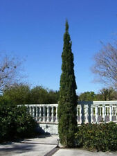 MEDITERRANEAN CYPRESS TREE Green Spire / Pencil Pine / Indian Cedar 5 Seeds
