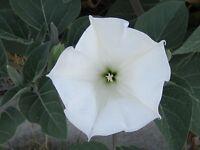 Datura, 150 Seeds, Trumpet Flower, Angel Trumpet, Moon Flower, Sacred Datura