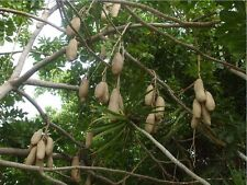 7 Semillas - Árbol Salchicha - KIGELIA AFRICANA - Jardín - Garden Samen Semi