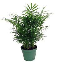 """Victorian Parlor Palm - Chamaedorea  - 4"""" Pot - Live Plant"""