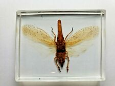 ZANNA TAPIRA. Real Lantern bugs fulgoridae insect clear resin encapsulation.